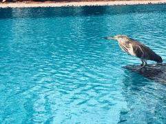 Bird waiting to swim in the pool - Bentota