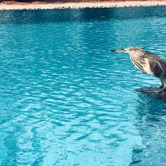 Bird waiting to swim in the pool - Bentota