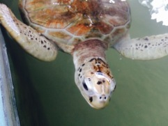 Turtles conservation project - Kosgoda
