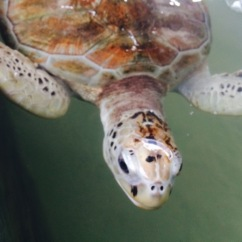 Turtles conservation project - Kosgoda